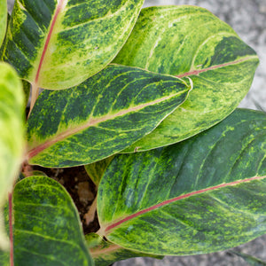 Water & Light Plant Shop Aglaonema Green Papaya leaf detail