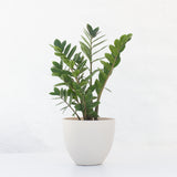 Water & Light Plant Shop Small Zamioculcas ZZ Plant in white pot