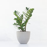 Water & Light Plant Shop Small Zamioculcas ZZ Plant in grey pot