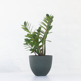 Water & Light Plant Shop Small Zamioculcas ZZ Plant in green pot