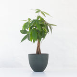 Water & Light Plant Shop Pachira Aquatica Money Plant in green pot