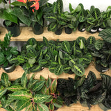 Water & Light Plant Shop Leuconeura Maranta Lemon Lime Plant leaf detail
