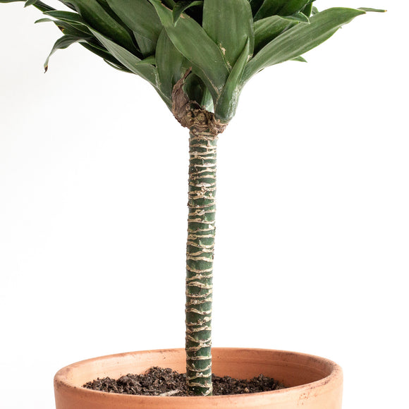 Water & Light Plant Shop Dracaena Janet Craig Compacta Plant in terra cotta pot