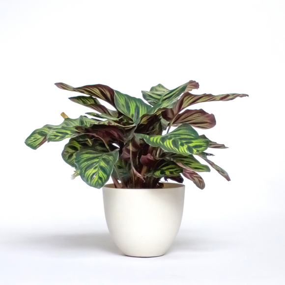 Water & Light Plant Shop Calathea Makoyana Peacock in white pot