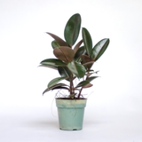 Water & Light Plant Shop Small Rubber Plant Ficus Elastica Burgundy in nursery pot