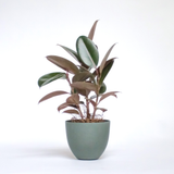 Water & Light Plant Shop Small Rubber Plant Ficus Elastica Burgundy in green pot