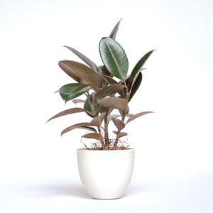 Water & Light Plant Shop Small Rubber Plant Ficus Elastica Burgundy in white pot