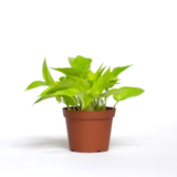 Water & Light Plant Shop Epipremnum Aureum Neon Pothos Plant in nursery pot