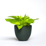 Water & Light Plant Shop Epipremnum Aureum Neon Pothos Plant in green pot