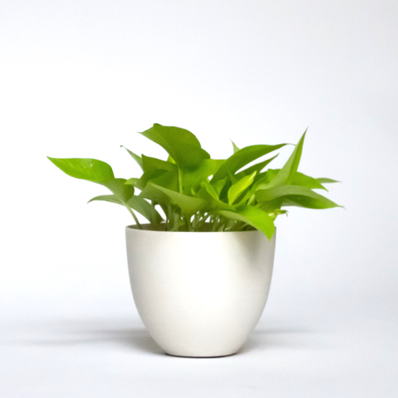 Water & Light Plant Shop Epipremnum Aureum Neon Pothos Plant in white pot