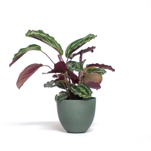 Water & Light Plant Shop Calathea Roseopicta Medallion in green pot