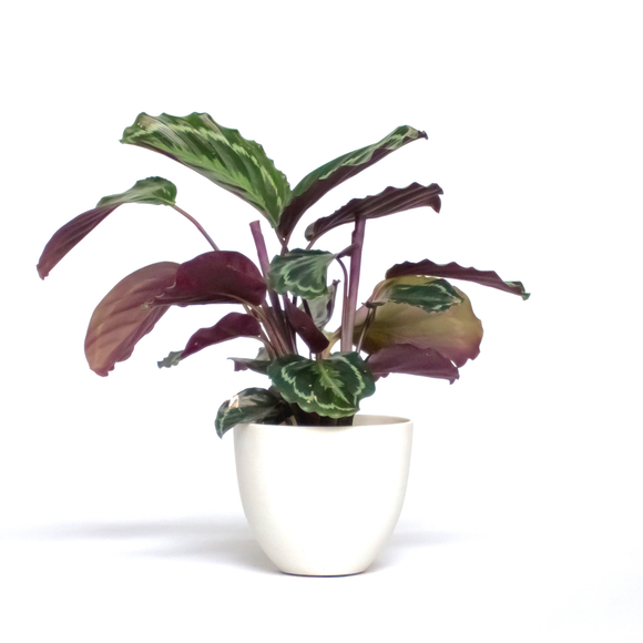 Water & Light Plant Shop Calathea Roseopicta Medallion in white pot