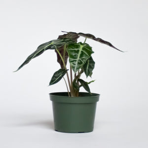 Water & Light Plant Shop African Mask Alocasia Amazonica in nursery pot