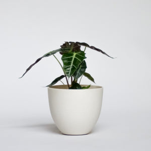 Water & Light Plant Shop African Mask Alocasia Amazonica Polly in white