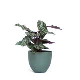 Water & Light Plant Shop Calathea Ornata Pink Pinstripe in green pot