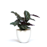 Water & Light Plant Shop Calathea Ornata Pink Pinstripe in white pot