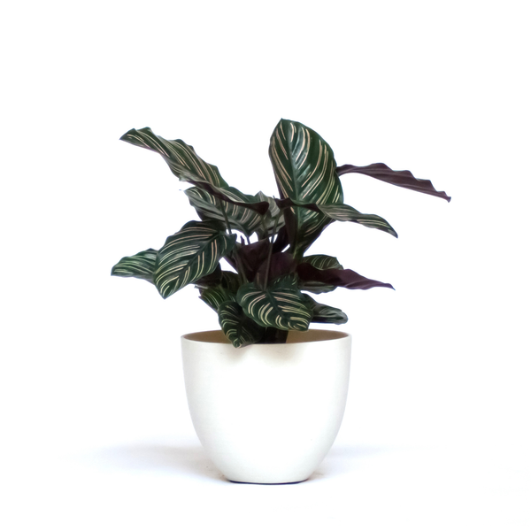 Water & Light Plant Shop Calathea Ornata Pink Pinstripe