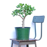 Water & Light Plant Shop Crassula Argentea Jade Tree Plant in nursery pot