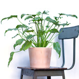 Water & Light Plant Shop Philodendron Xanadu