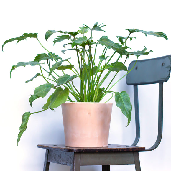 Water & Light Plant Shop Philodendron Xanadu in pink terra cotta pot