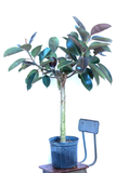 Water & Light Plant Shop Rubber Tree Ficus Elastica Burgundy in nursery pot