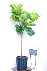 Water & Light Plant Shop 4' tall Fiddle Leaf Fig Ficus Lyrata Tree in nursery pot