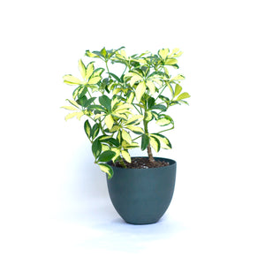 Water & Light Plant Shop Variegated Arboricola Plant in green pot