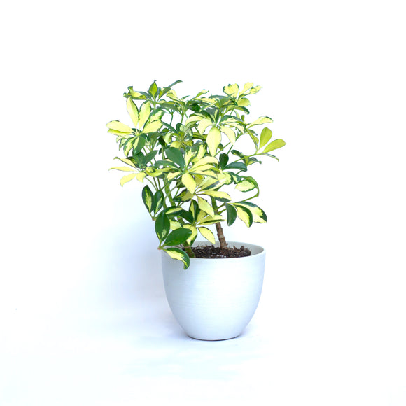 Water & Light Plant Shop Variegated Arboricola Plant in white pot