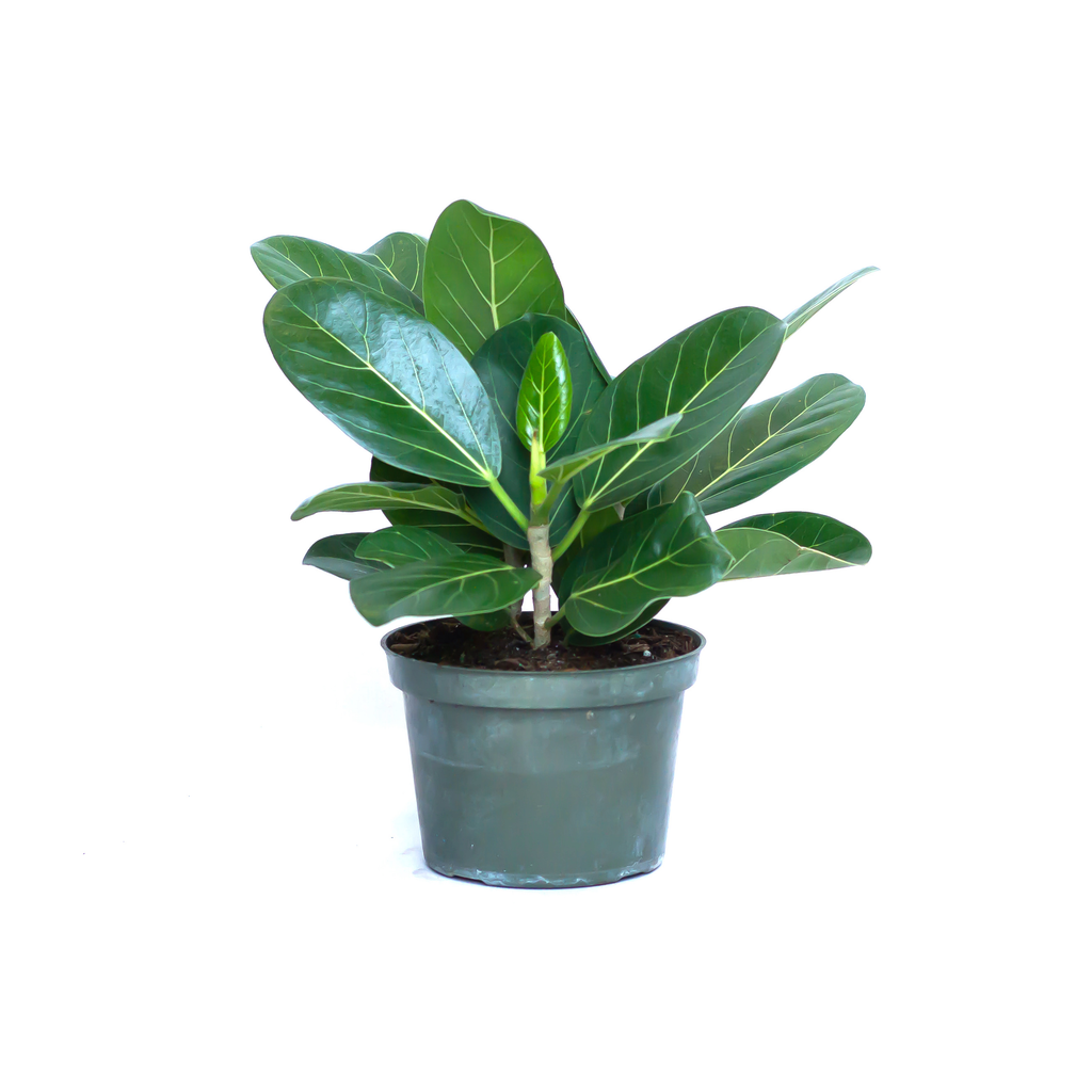 Water & Light Plant Shop Ficus Audrey Benghalensis Plant in nursery pot