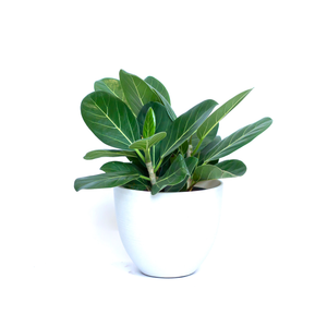 Water & Light Plant Shop Ficus Audrey Benghalensis Plant in white pot