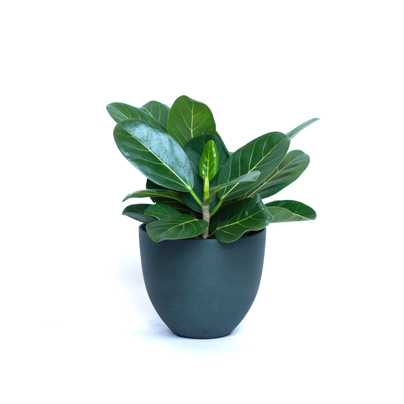 Water & Light Plant Shop Ficus Audrey Benghalensis Plant in green pot