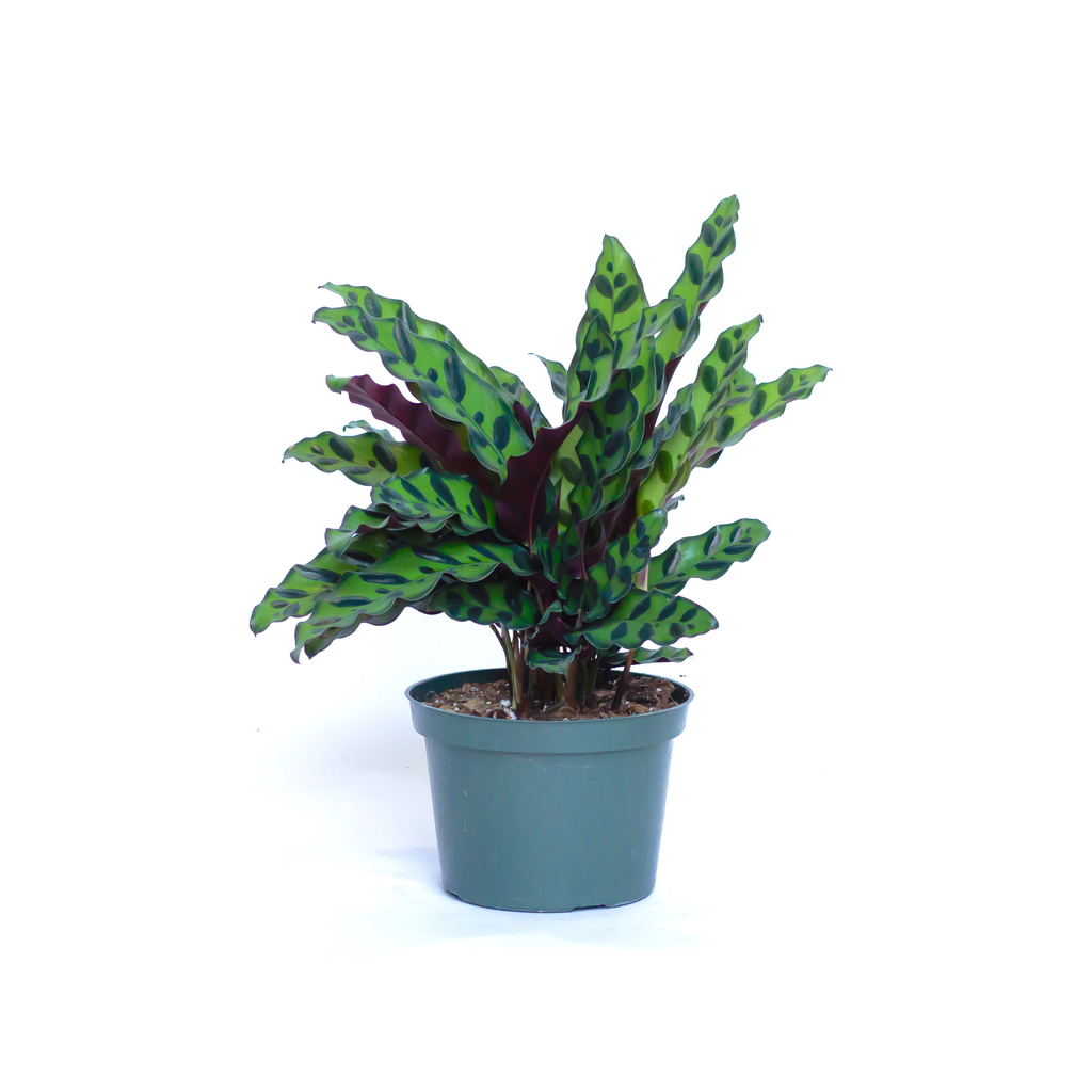 Water & Light Plant Shop Calathea Lancifolia Rattlesnake in nursery pot