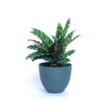 Water & Light Plant Shop Calathea Lancifolia Rattlesnake in green pot