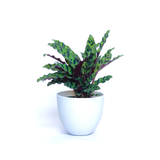 Water & Light Plant Shop Calathea Lancifolia Rattlesnake in white pot