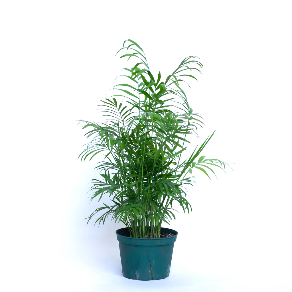 Water & Light Plant Shop Neanthe Bella Palm in nursery pot