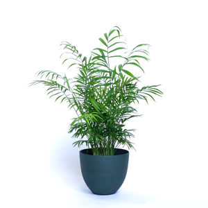 Water & Light Plant Shop Neanthe Bella Palm in green pot