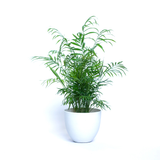 Water & Light Plant Shop Neanthe Bella Palm in white pot
