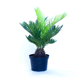 Water & Light Plant Shop Cycas Revoluta Sago Plant in nursery pot