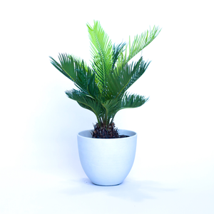 Water & Light Plant Shop Cycas Revoluta Sago Plant in white pot
