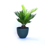 Water & Light Plant Shop Cycas Revoluta Sago Plant in green pot