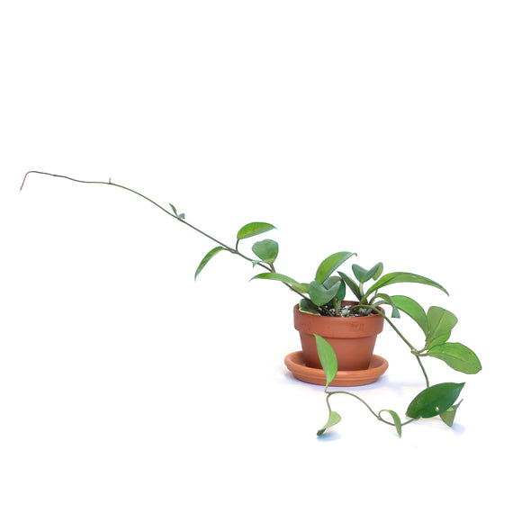 Water & Light Plant Shop Hoya Carnosa Wax Rope Plant in terra cotta pot
