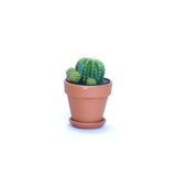 Water & Light Plant Shop Parodia Mairanana Red Tom Thumb Plant in terra cotta pot