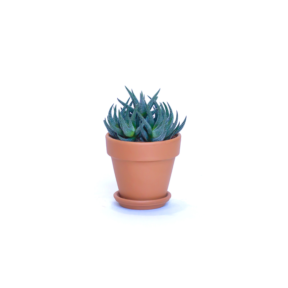Water & Light Plant Shop Haworthia Fasciata Zebra Aloe Plant in terra cotta pot