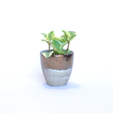 Water & Light Plant Shop Peperomia Obtusifolia Marble Plant in metallic pot