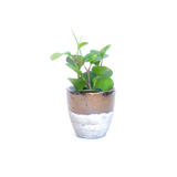 Water & Light Plant Shop Peperomia Obtusifolia Plant in metallic pot
