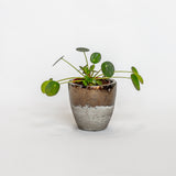 Water & Light Plant Shop Chinese Money Plant in metallic pot