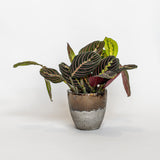 Water & Light Plant Shop Leuconeura Erythroneura Red Maranta Plant in metallic pot