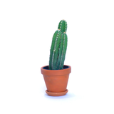Water & Light Plant Shop Acanthocereus Tetragonus Fairy Castle Cactus Plant in terra cotta pot