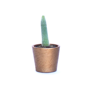 Water & Light Plant Shop Espostoa Melanostele Old Man Cactus Plant in gold pot