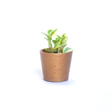 Water & Light Plant Shop Peperomia Obtusifolia Marble Plant in gold pot